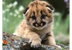 Puma bebé