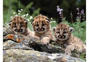 Cubs Vector