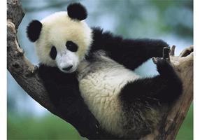 Filhote de panda