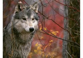 Lobo cinza