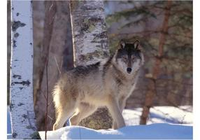 Gray Wolf Wildlife
