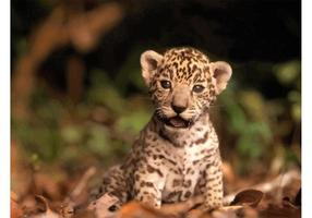 Chaton jaguar