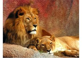 Couple de lion