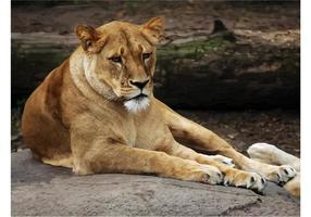 Kvinna Lion