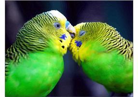 Liefde Vogels Wallpaper