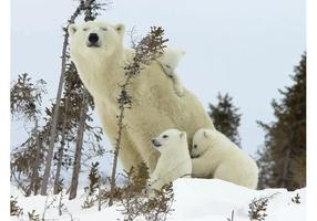 Famille d'ours polaire