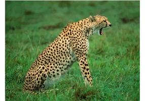 Yawning Cheetah Wallpaper