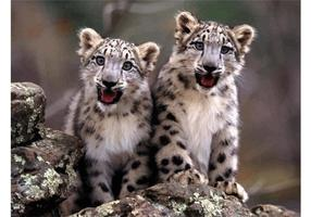 Baby Snow Leopards