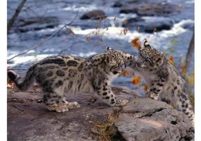 Playing Snow Leopards