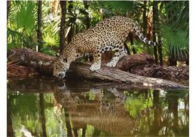 Jaguar Bild