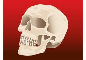 Vetor de crânio humano