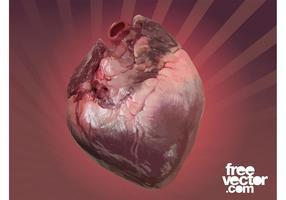 Human Heart Vector Graphic
