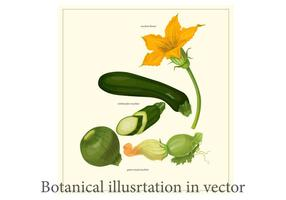 Zucchini Botanical Poster Vector