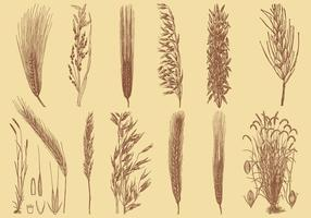 Old Style Drawing Grains vector