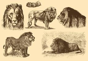 Lions Old Style Drawings vector