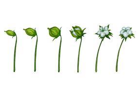Planta de algodón Blosssom