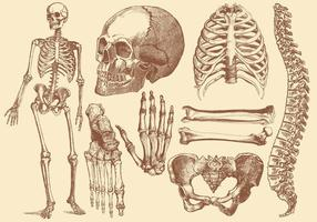 Old Style Drawing Human Bones vector