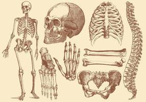 Dibujo de estilo antiguo Huesos humanos