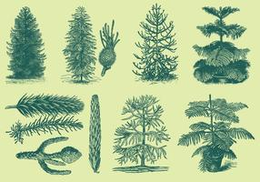 Old Style Drawing Araucarias vector