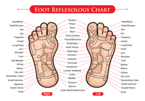 Foot Reflexology Chart Vector