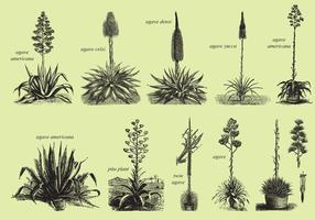 Agave And Maguey Dibujos