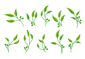 Vector d'eucalyptus
