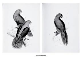 Vintage Parakeet Illustrations