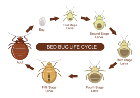 Bed Bug Livscykel Vector