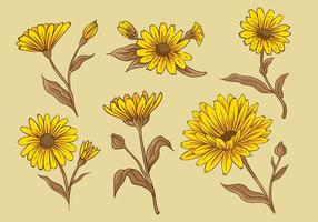 Calendula Hand Drawing Free Vector
