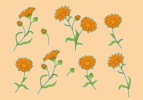 Calendula Vector Set