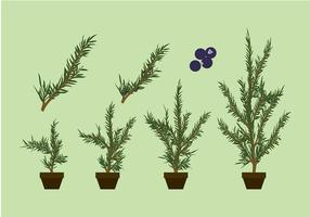 Juniper Pflanze Free Vector