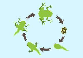 Levenscyclus van een Kikker Vector