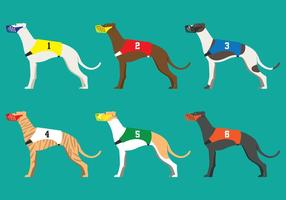 Whippet race dog
