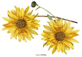 Illustrations vintage de tournesol