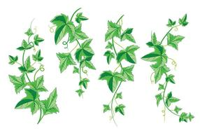 Bouquet of Ivy with Green Leaves Isolated on a White Background vector