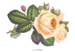 Hermosa ilustración acuarela Rosa Vector