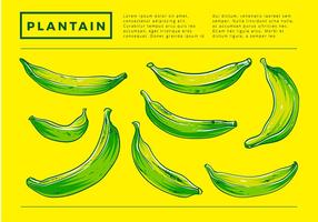 Plantain Hand Drawing Free Vector