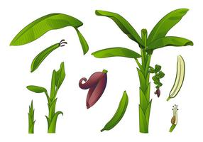 Plantain tree free vector