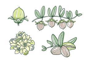 Dessin à la main de la plante de jojoba