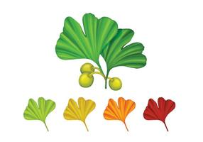 Different Color Of Ginkgo Biloba Leaves