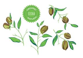Jojoba Pflanze Vektor Illustrationen