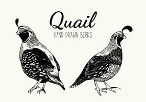 Quail Bird Vector Handdrawn Illustration