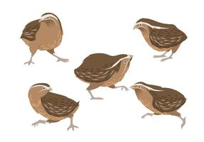 Illustration av Brown Quail