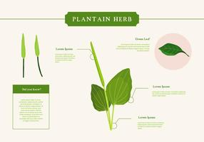 Plantain Herb Vector