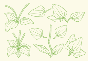 Great Plantain Herbs Vectors