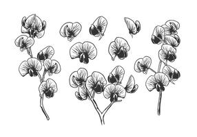 Hand Drawn Sweet Pea Free Vector