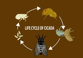 Life Cycle of Cicada