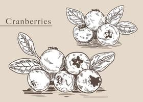 Cranberries Hand gezeichnete Illustration Vektor