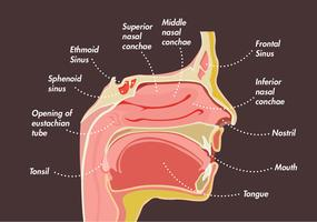 Sinuses Vector Design