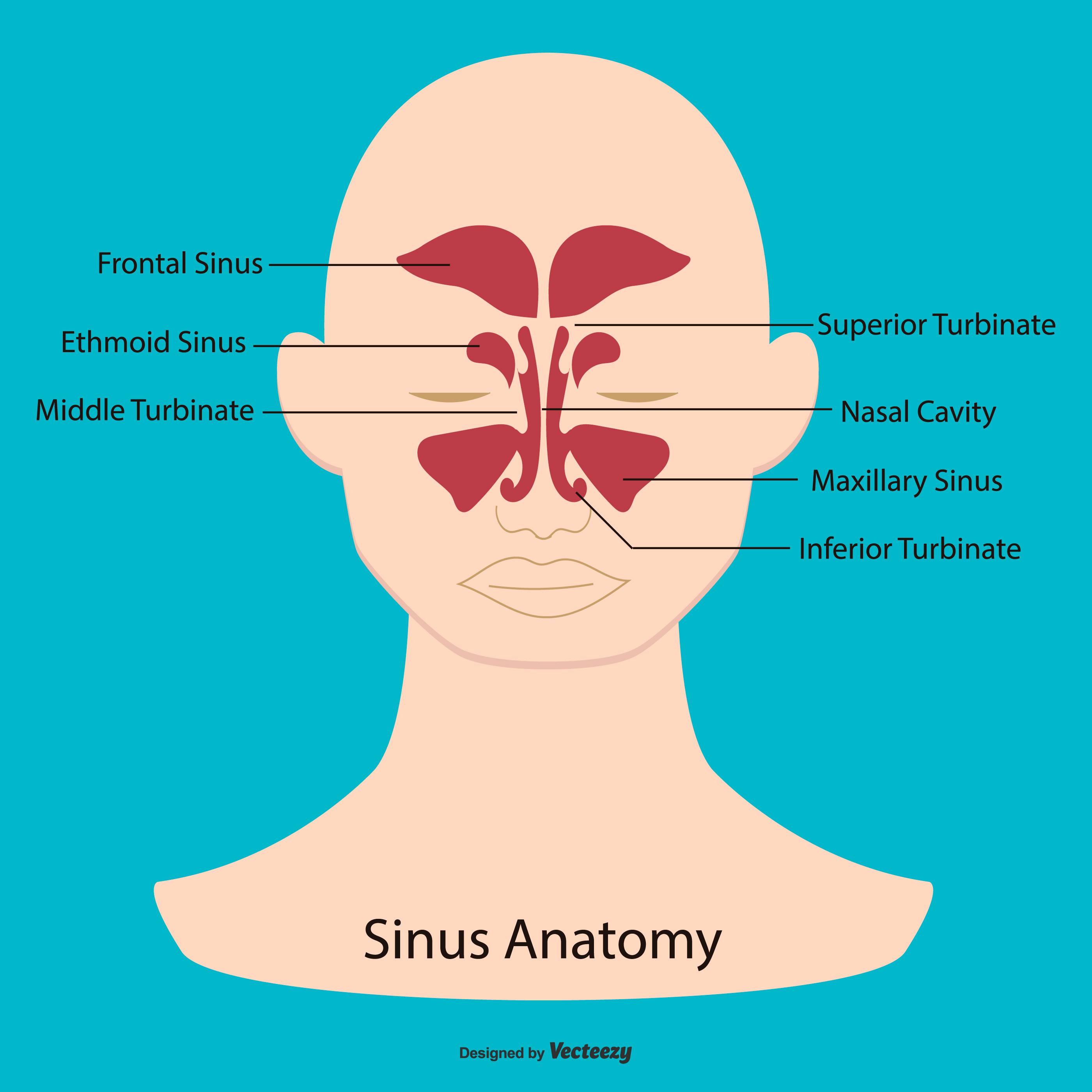 Sinus-Anatomie-Illustration - Kostenlose Vektor-Kunst, Archiv ...